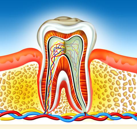 Zahn mit Nerv und Blutgefäßen