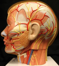 Anatomie des Kopfes
