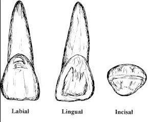 Schneidezahn Anatomie