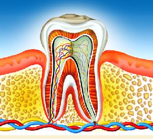 Zähne dienen zum Zerkleinern der Nahrung, weshalb gesunde Zähne auch für eine funktionierende Verdauung von großer Wichtigkeit sind.