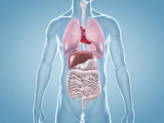 Innere Organe des Menschen