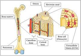 Aufbau des Knochens