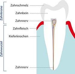 Zahnaufbau in schematischer Darstellung