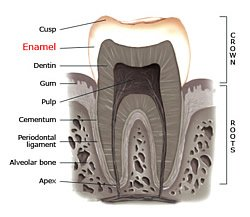 Anatomie des Zahnes