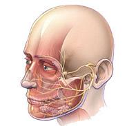 Die Wange befindet sich zwischen den Augenhöhlen, dem Jochbein und dem Unterkiefer und ist von innen von der Mundschleimhaut begrenzt.