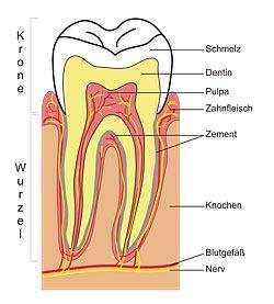Bei den Backenzähnen handelt es sich um die größten menschlichen Zähne. Zu ihnen gehören auch die Weisheitszähne, die nicht bei jedem angelegt sind.
