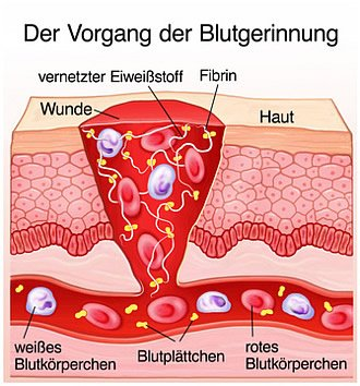 Der Vorgang der Blutgerinnung