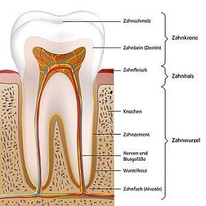 Ein Zahn besteht aus drei Bereichen: Zahnkrone, Zahnhals und Zahnwurzel.