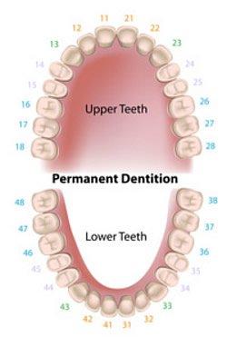 Vor der Geburt sind die beiden verschiedenen Zahnsätze im Kiefer angelegt. Das sind 20 Milchzähne und 32 bleibende Zähne.
