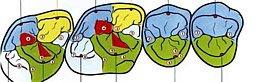 Anatomie Zahnkronen